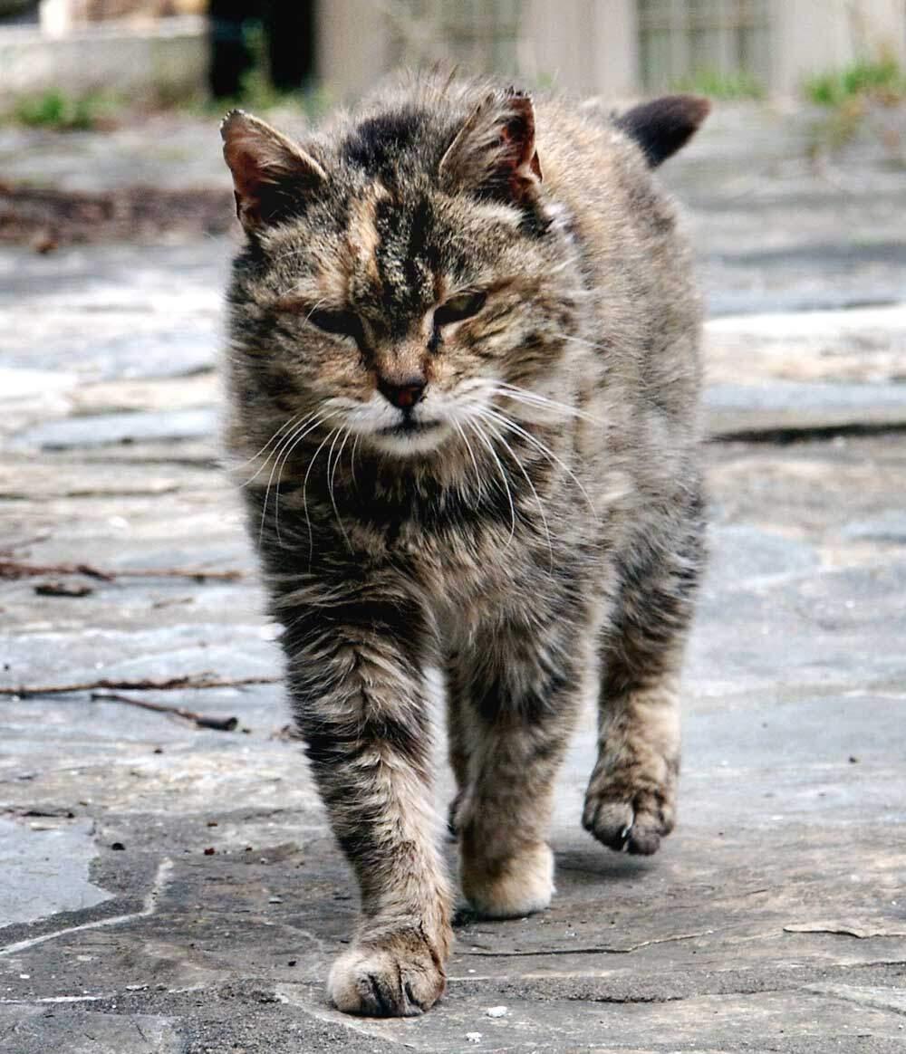 kastrering af kat