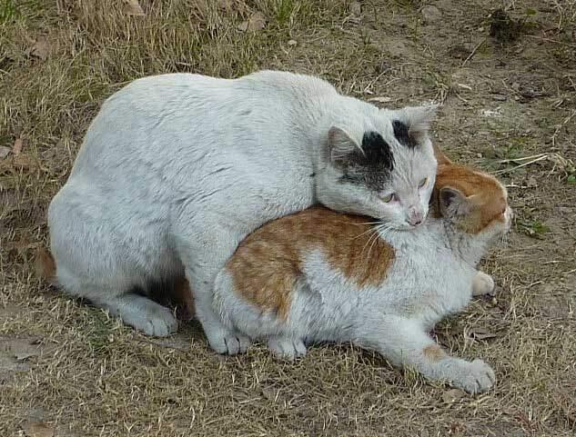 En kat er typisk kønsmoden allerede når den er 5 - 10 måneder gammel