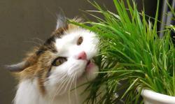Kattegræs er sundt for katte