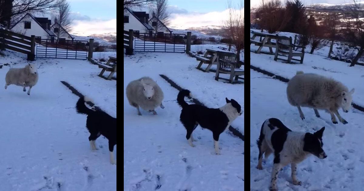 Lille lam tror det er en hund