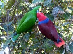 Her ses et papegøjepar