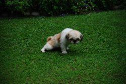 Renlighedstræning af hunde og hvalpe er vigtigt